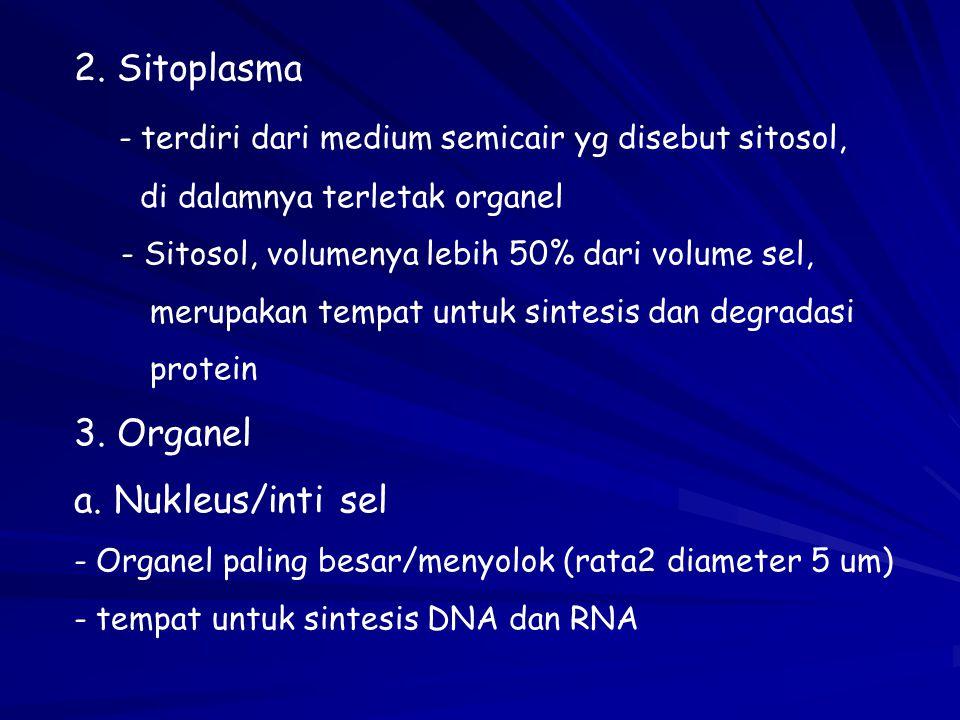 2. Sitoplasma - terdiri dari medium semicair yg disebut sitosol, di dalamnya terletak organel - Sitosol, volumenya lebih 50% dari volume sel, merupaka