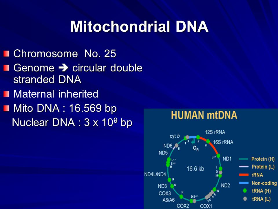 Mitochondrial DNA Chromosome No.