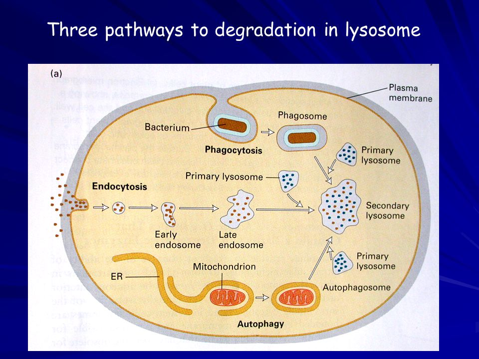 Three pathways to degradation in lysosome