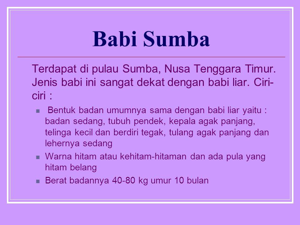 Babi Sumba Terdapat di pulau Sumba, Nusa Tenggara Timur.