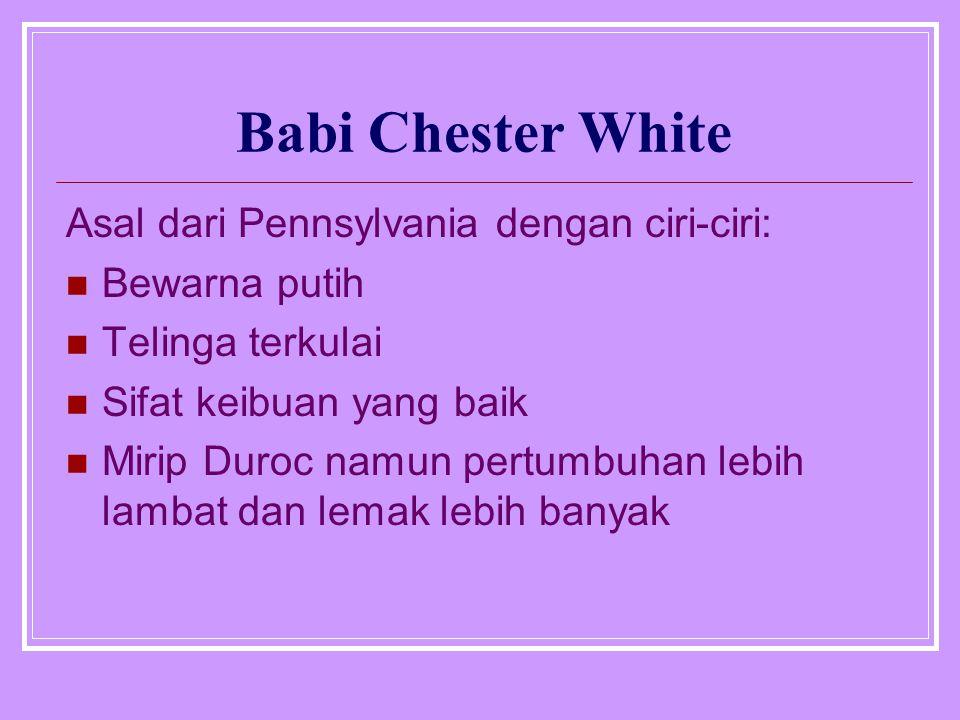 Babi Chester White Asal dari Pennsylvania dengan ciri-ciri: Bewarna putih Telinga terkulai Sifat keibuan yang baik Mirip Duroc namun pertumbuhan lebih