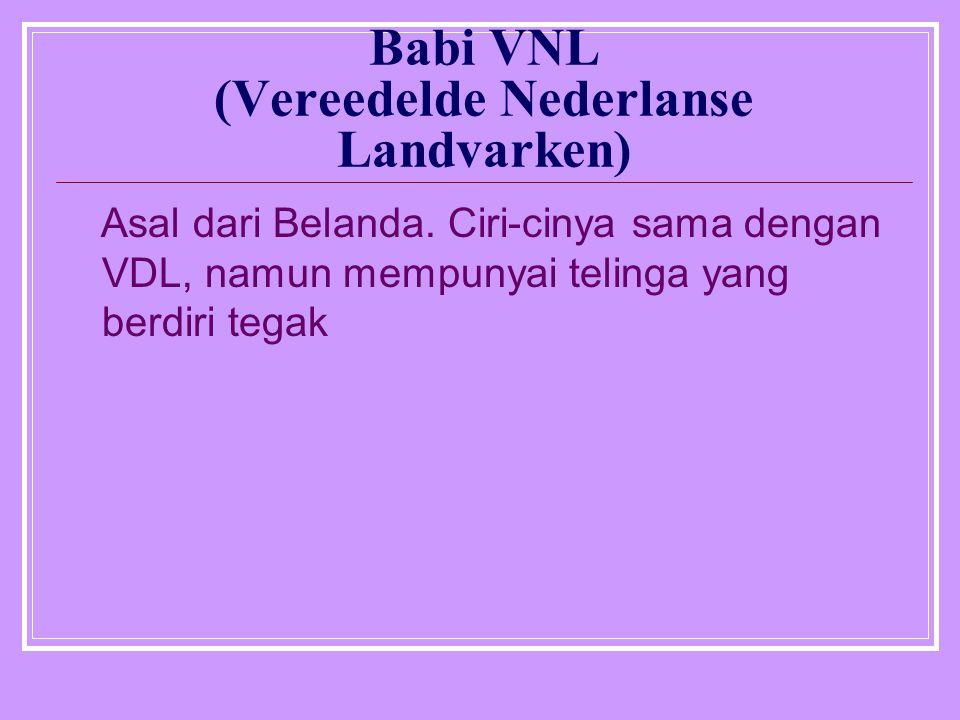Babi VNL (Vereedelde Nederlanse Landvarken) Asal dari Belanda. Ciri-cinya sama dengan VDL, namun mempunyai telinga yang berdiri tegak