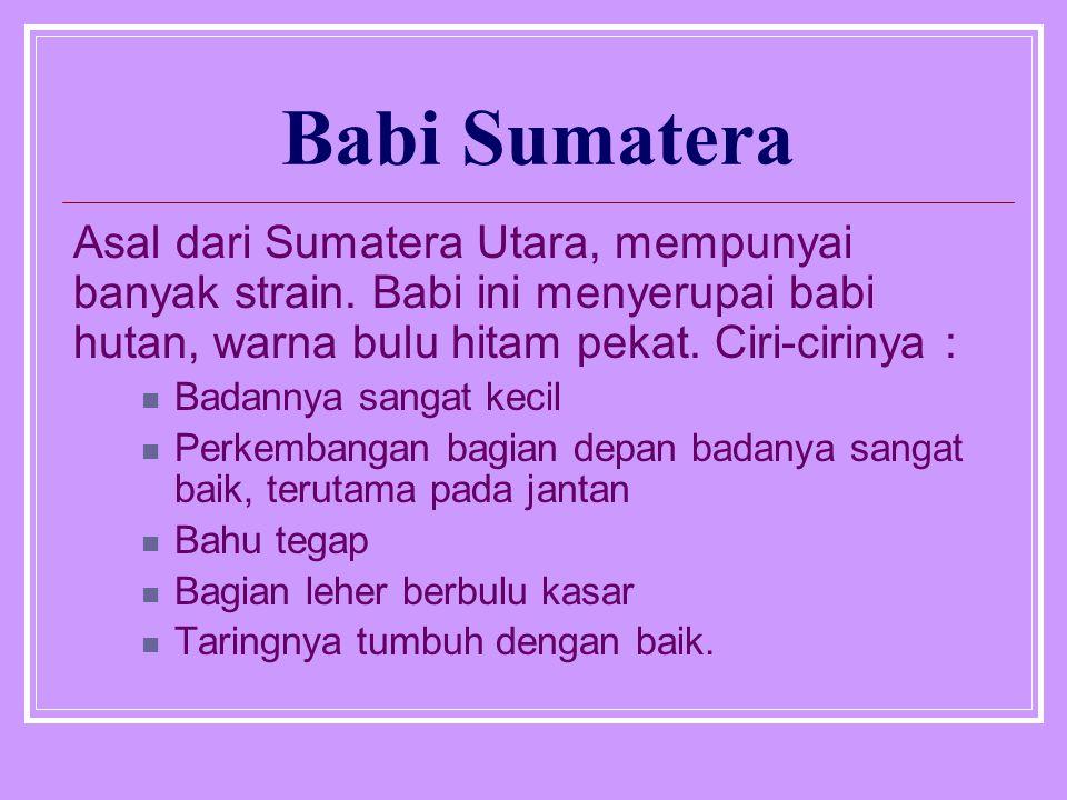 Babi Sumatera Asal dari Sumatera Utara, mempunyai banyak strain.