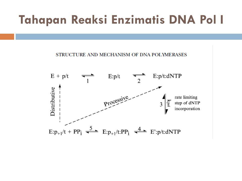 Tahapan Reaksi Enzimatis DNA Pol I