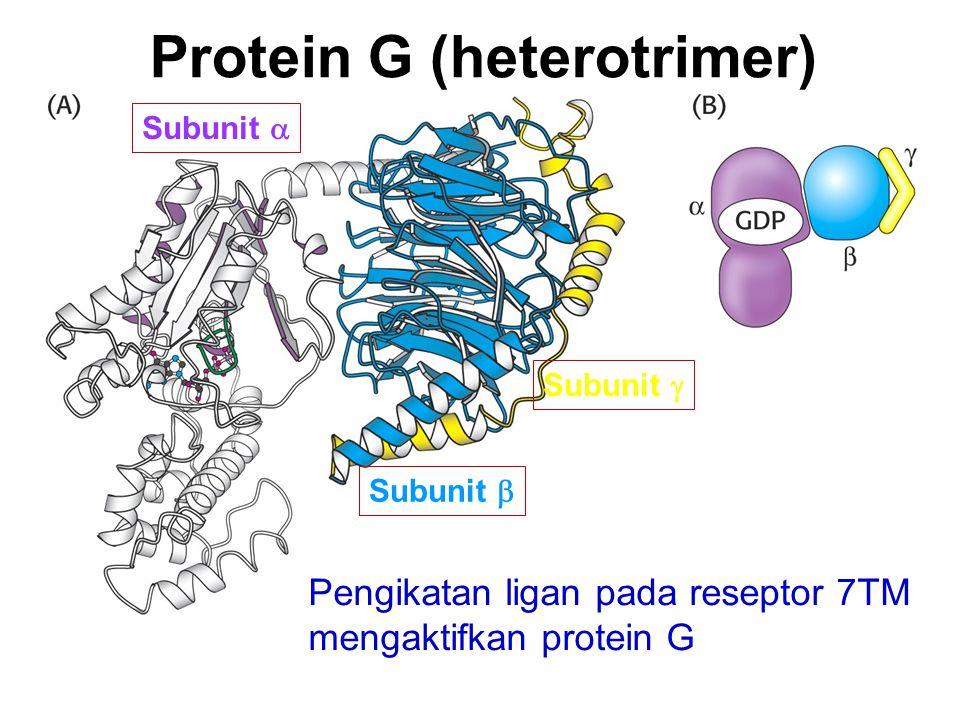 Pengikatan ligan pada reseptor 7TM mengaktifkan protein G Protein G (heterotrimer) Subunit  Subunit  Subunit 