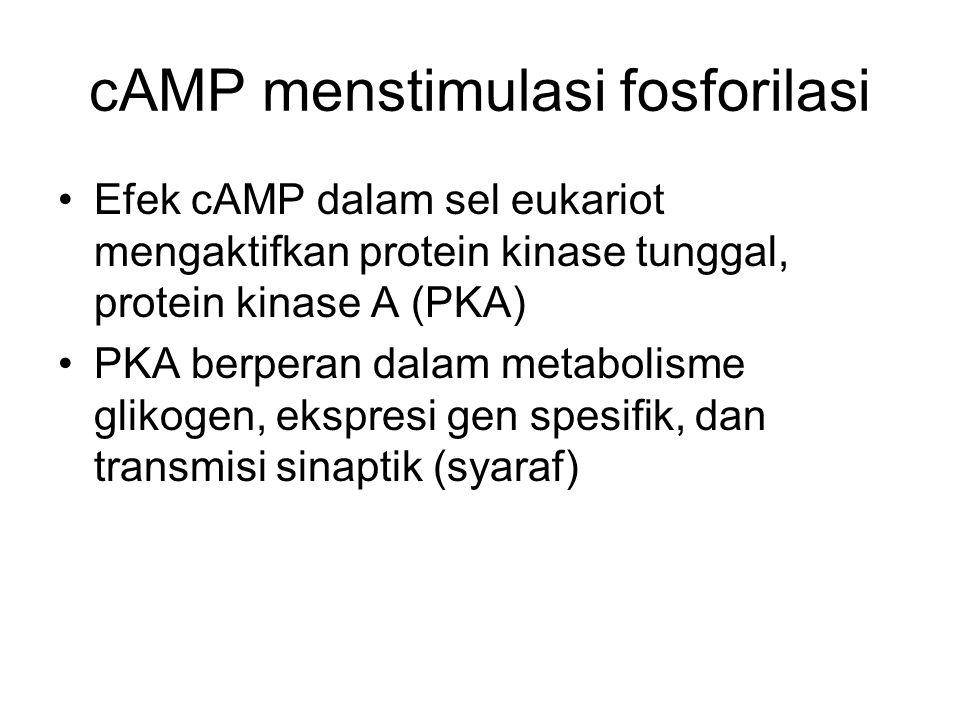 cAMP menstimulasi fosforilasi Efek cAMP dalam sel eukariot mengaktifkan protein kinase tunggal, protein kinase A (PKA) PKA berperan dalam metabolisme