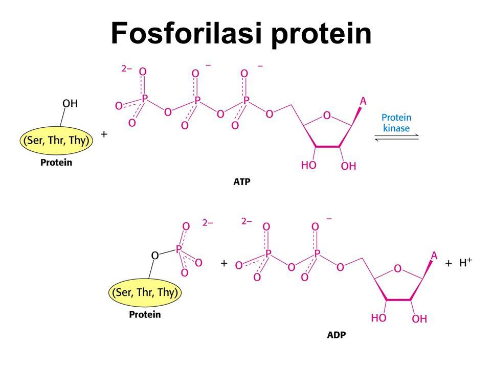 Fosforilasi protein