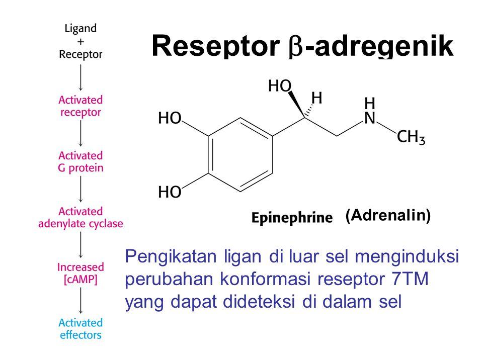 Reseptor  -adregenik (Adrenalin) Pengikatan ligan di luar sel menginduksi perubahan konformasi reseptor 7TM yang dapat dideteksi di dalam sel