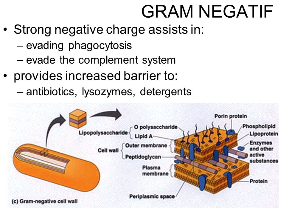11 Strong negative charge assists in: –evading phagocytosis –evade the complement system provides increased barrier to: –antibiotics, lysozymes, detergents GRAM NEGATIF