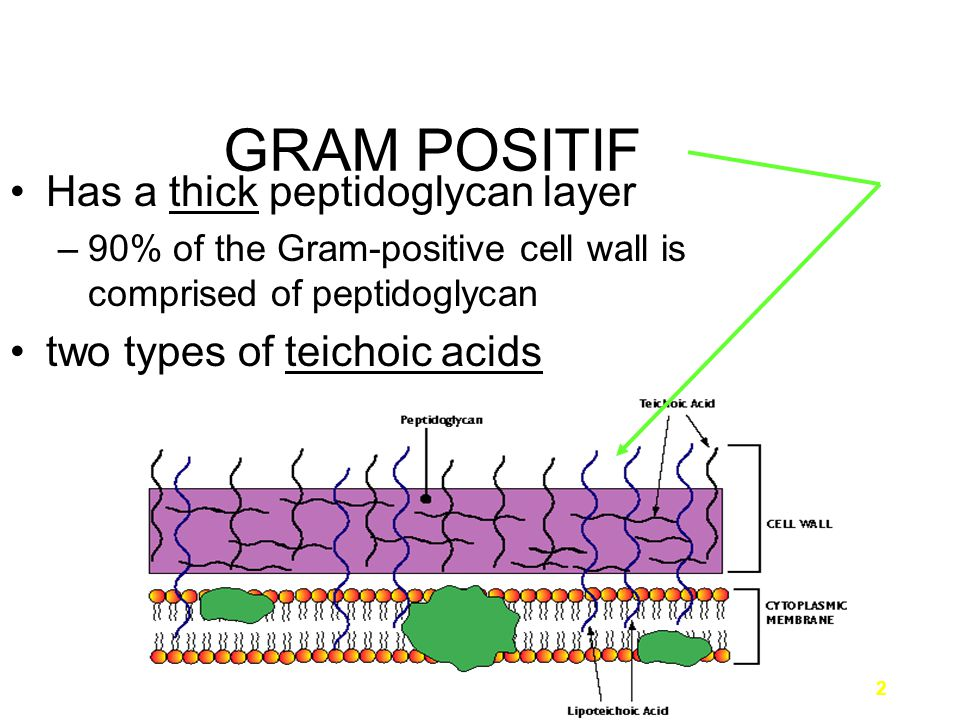 3 GRAM POSITIF 1) Lipoteichoic acid –on the surface, embedded in the peptidoglycan layer –linked to the cytoplasmic membrane