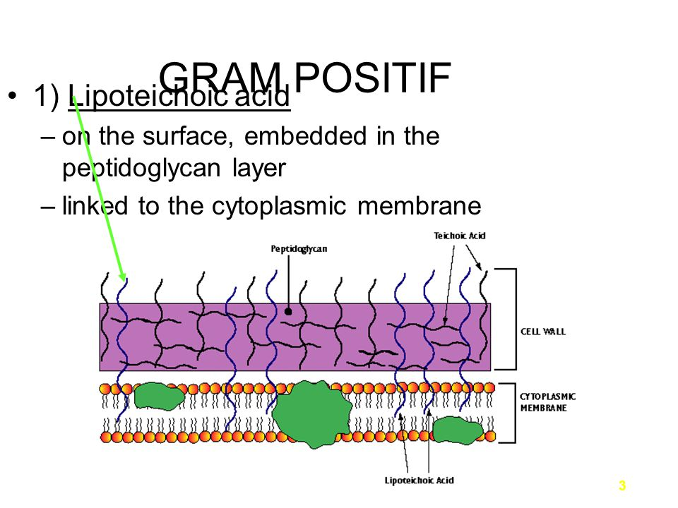 4 GRAM POSITIF 2) Wall teichoic acid –on the surface –linked to only the peptidoglycan layer