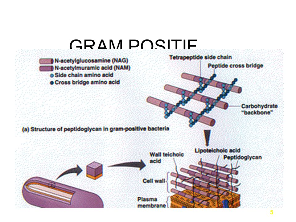 6 cell wall of Gram-negative bacteria is much thinner –comprised of only 20% peptidoglycan have two unique regions which surround the outer plasma membrane: –periplasmic space –lipopolysaccharide layer GRAM NEGATIF