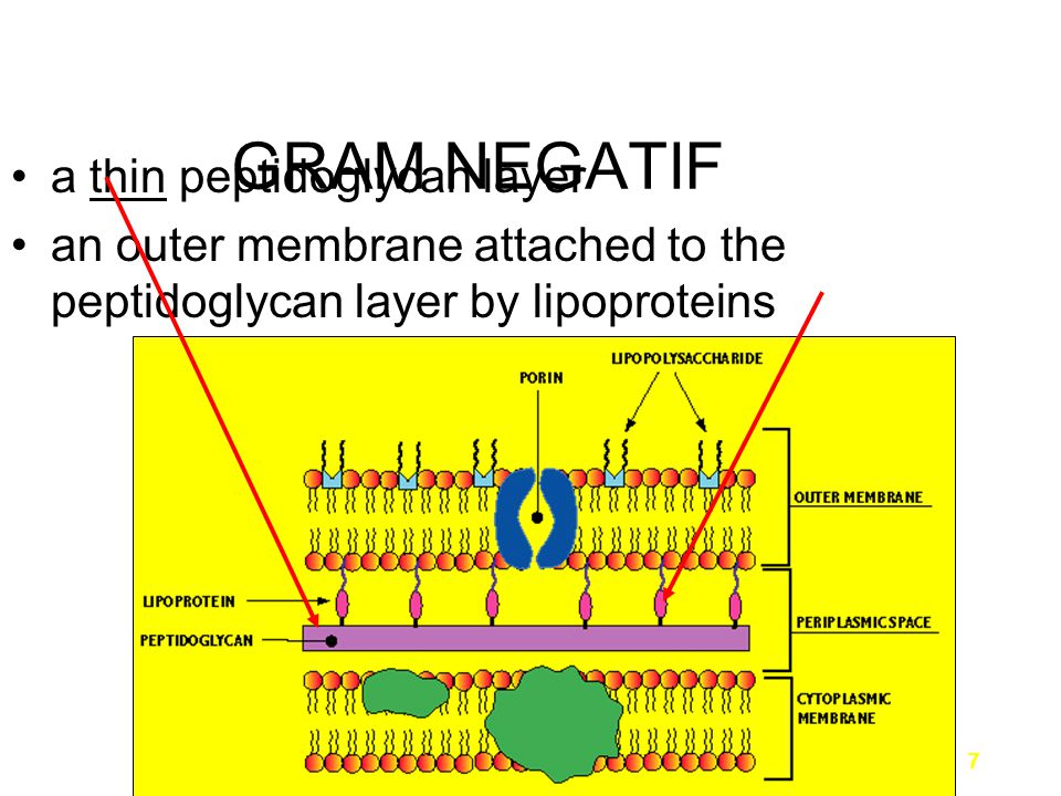 7 a thin peptidoglycan layer an outer membrane attached to the peptidoglycan layer by lipoproteins