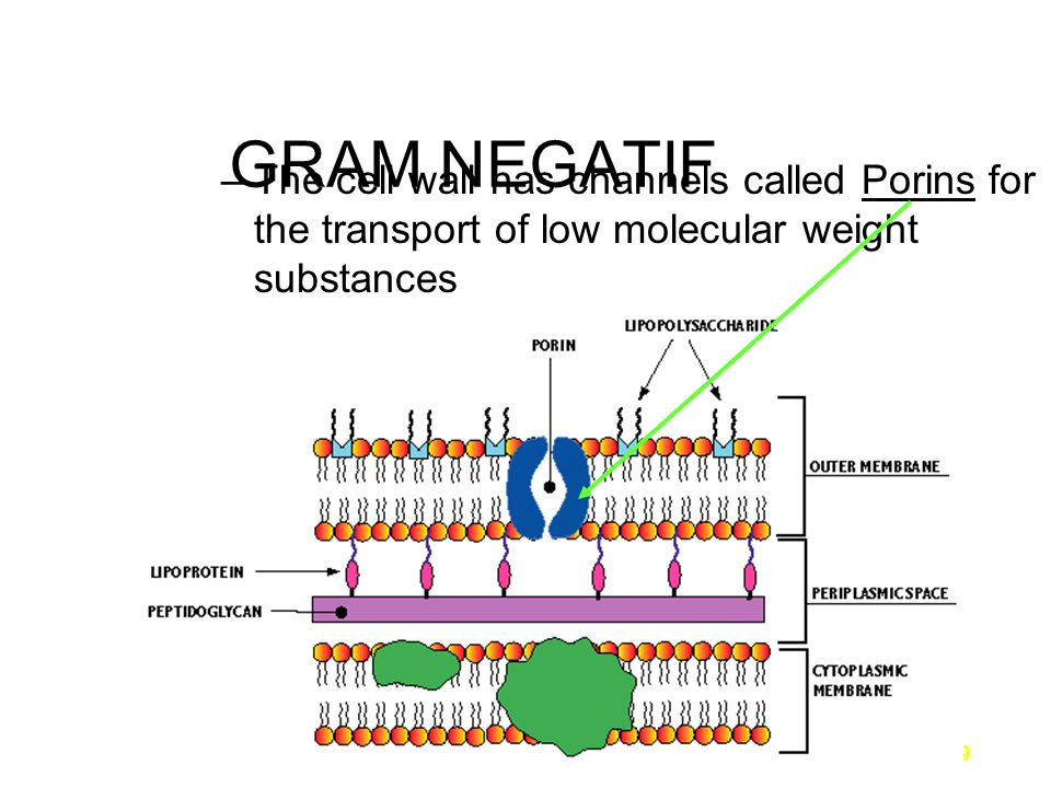 9 GRAM NEGATIF –The cell wall has channels called Porins for the transport of low molecular weight substances