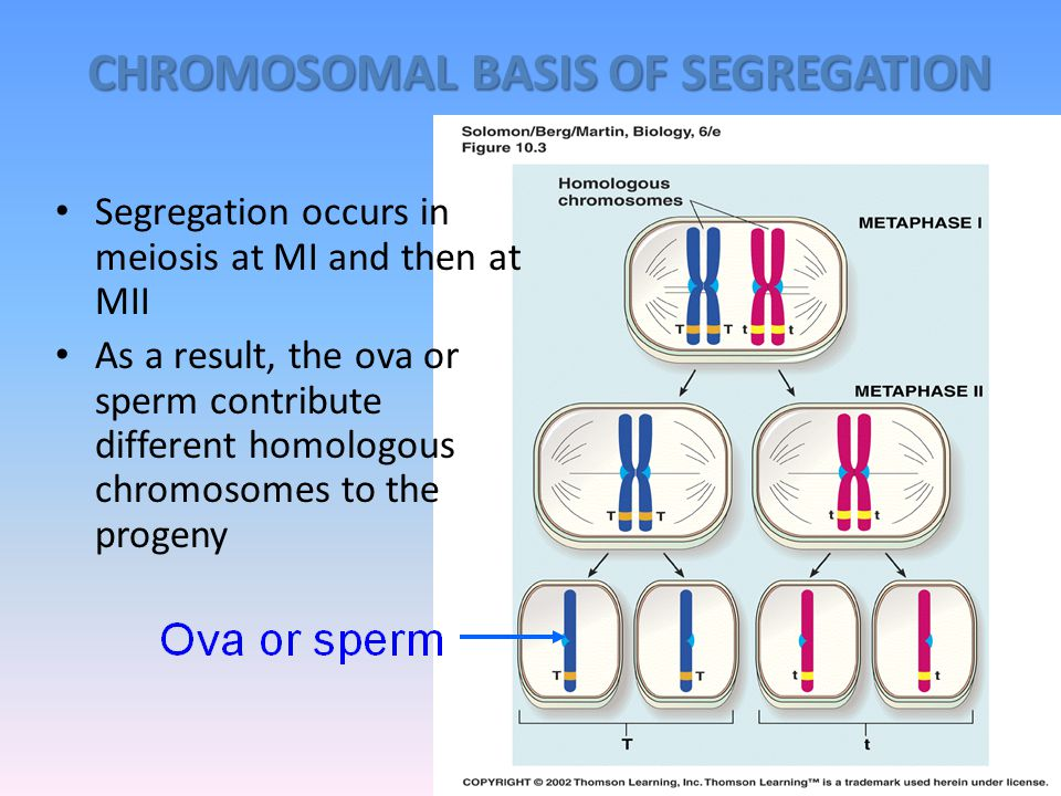 1. LAW OF SEGREGATION The Law of Segregation at the time of gamete formation, members of a pair of unit characters segregate (separate) from one anoth