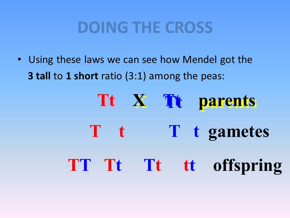 MEIOSIS MECHANISMS PRODUCE INDEPENDENT ASSORTMENT Meiosis I provides the independent assortment of chromosomes and genes into the gametes. The homolog