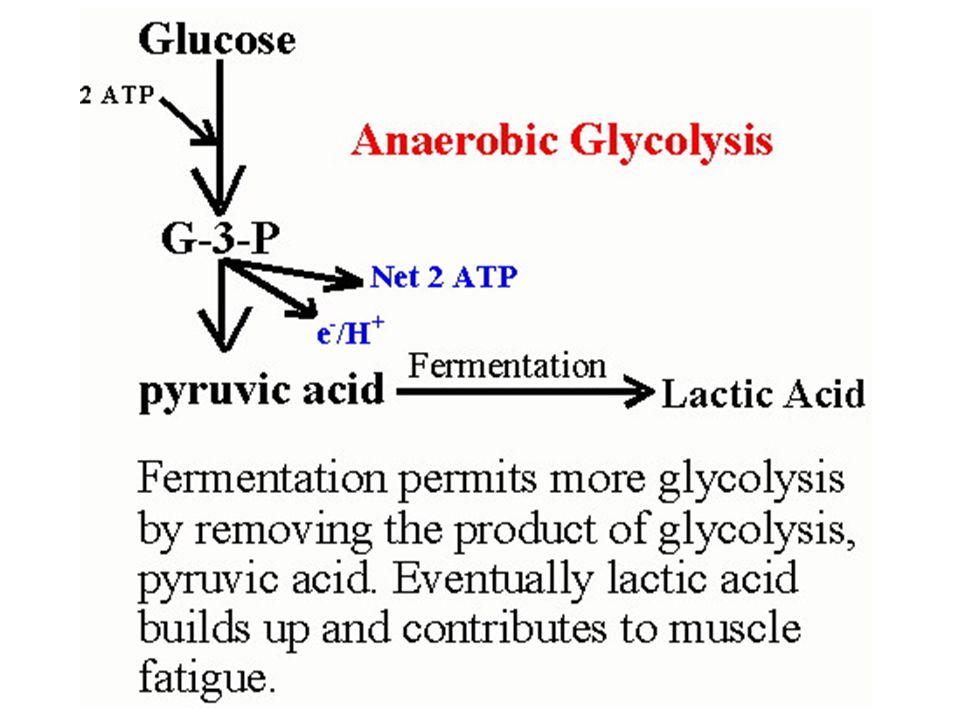 29 Pengaturan Glikolisis  hexokinase or glucokinase  phosphofructokinase  pyruvate kinase