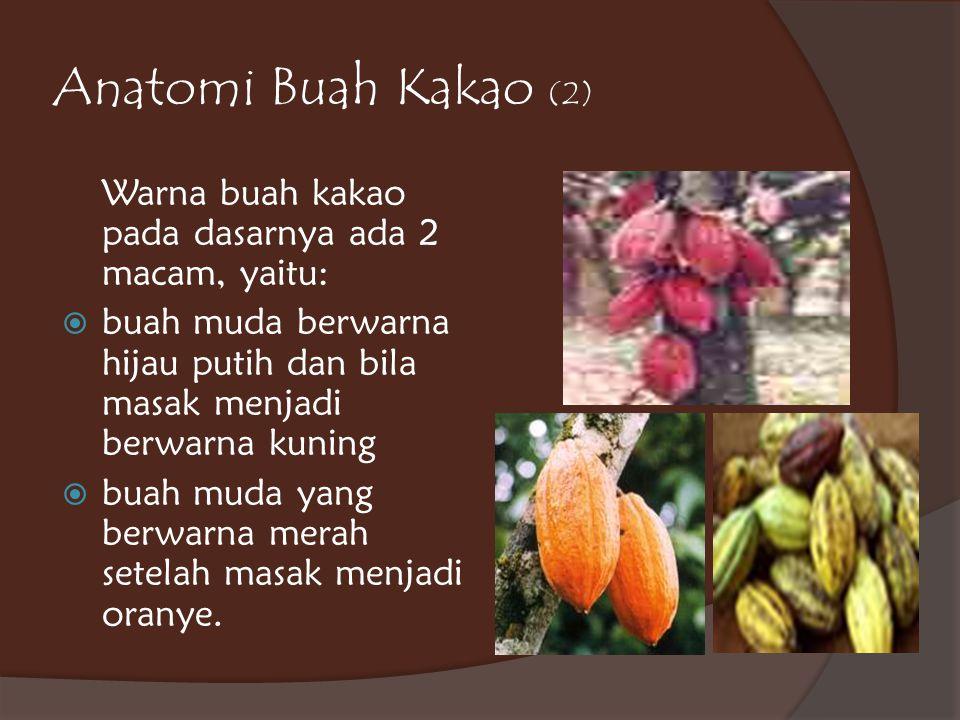 Anatomi Buah Kakao (2) Warna buah kakao pada dasarnya ada 2 macam, yaitu:  buah muda berwarna hijau putih dan bila masak menjadi berwarna kuning  bu