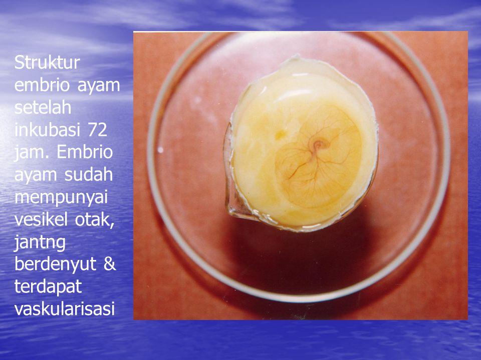Struktur embrio ayam setelah inkubasi 72 jam.