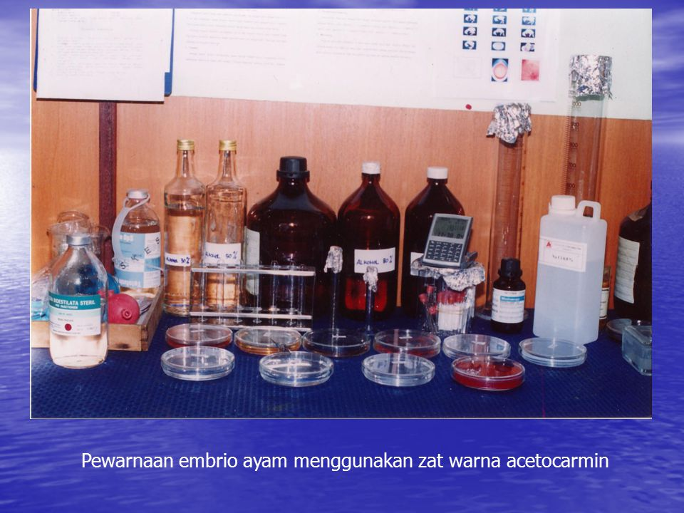Pewarnaan embrio ayam menggunakan zat warna acetocarmin