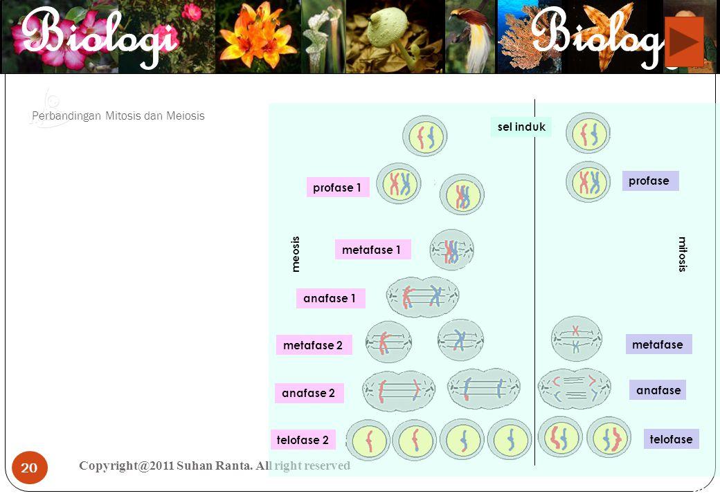20 Perbandingan Mitosis dan Meiosis Copyright@2011 Suhan Ranta. All right reserved 20 meosis mitosis sel induk profase 1 profase metafase metafase 2 m