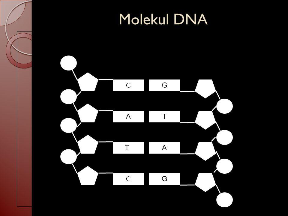 Molekul DNA C G A TCTC C T A G