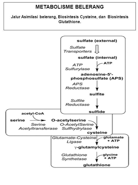 METABOLISME BELERANG Jalur Asimilasi belerang, Biosintesis Cysteine, dan Biosintesis Glutathione.