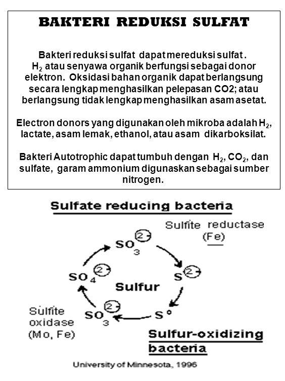 BAKTERI REDUKSI SULFAT Bakteri reduksi sulfat dapat mereduksi sulfat. H 2 atau senyawa organik berfungsi sebagai donor elektron. Oksidasi bahan organi