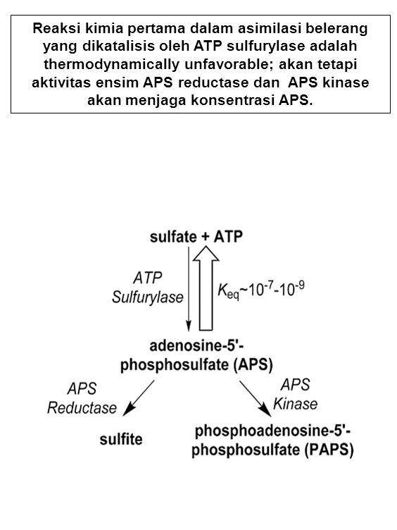 Reaksi kimia pertama dalam asimilasi belerang yang dikatalisis oleh ATP sulfurylase adalah thermodynamically unfavorable; akan tetapi aktivitas ensim