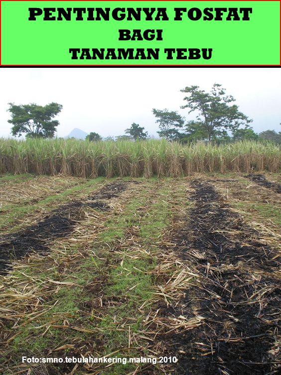 P DAN TANAMAN TEBU Pengendalian P-tersedia dalam tanah sangat menentukan hasil tebu dan gula.