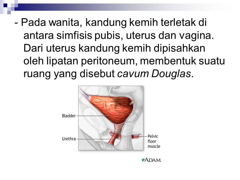- Pada wanita, kandung kemih terletak di antara simfisis pubis, uterus dan vagina. Dari uterus kandung kemih dipisahkan oleh lipatan peritoneum, membe