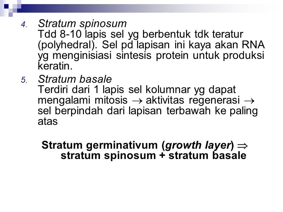 4. Stratum spinosum Tdd 8-10 lapis sel yg berbentuk tdk teratur (polyhedral). Sel pd lapisan ini kaya akan RNA yg menginisiasi sintesis protein untuk