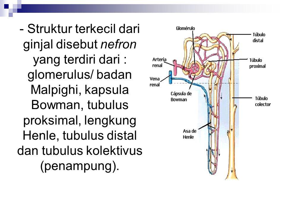- Selain nefron, struktur ginjal juga berisi pembuluh-pembuluh darah.