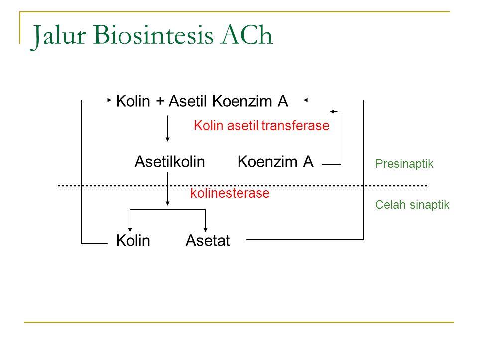 Jalur Biosintesis ACh Kolin + Asetil Koenzim A Asetilkolin Koenzim A Kolin asetil transferase Kolin Asetat kolinesterase Presinaptik Celah sinaptik
