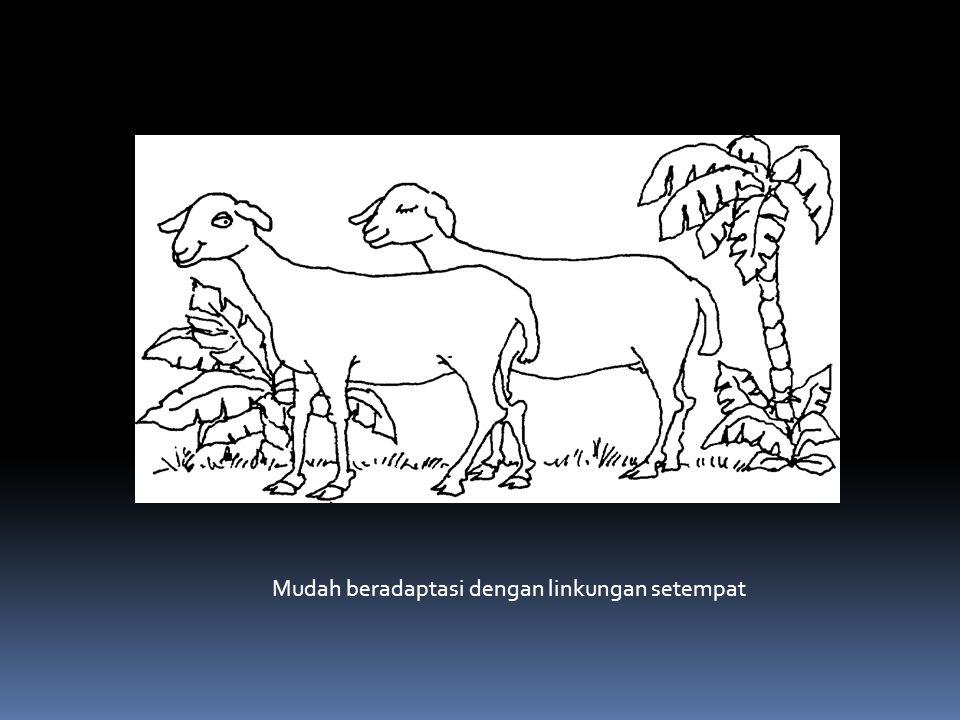 Peranan domba : Penghasil daging Penghasil kulit Penghasil pupuk kandang Sumber uang (tabungan)