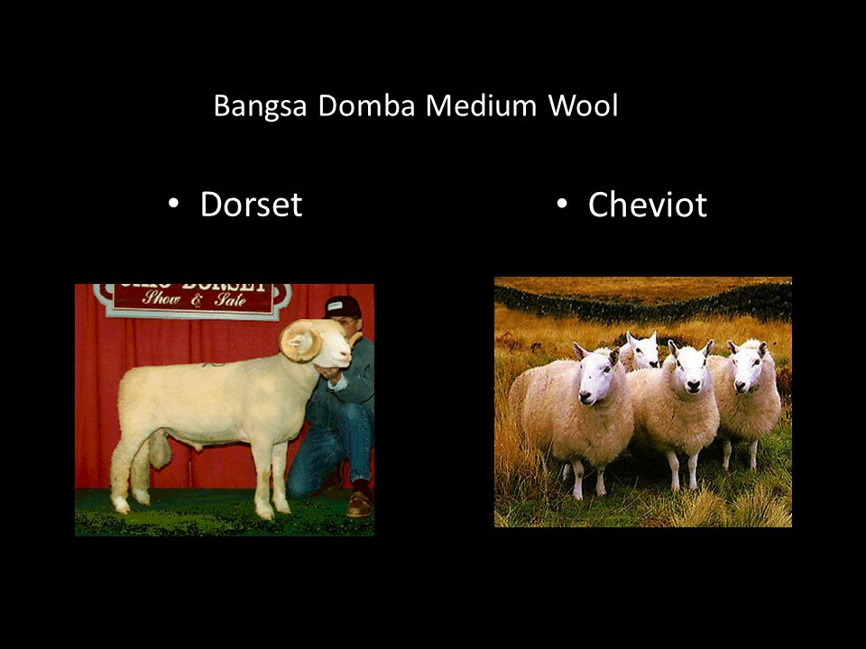 Bangsa Domba Medium Wool Dorset Cheviot
