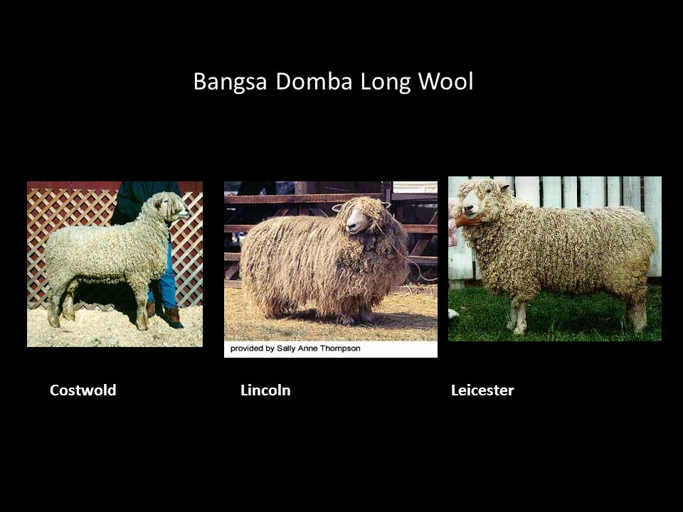 Bangsa Domba Long Wool Costwold Lincoln Leicester