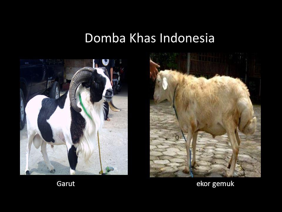 Domba Khas Indonesia Garut ekor gemuk