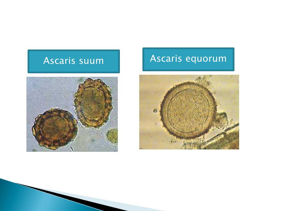 Ascaris suum Ascaris equorum
