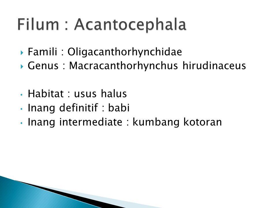  Famili : Oligacanthorhynchidae  Genus : Macracanthorhynchus hirudinaceus Habitat : usus halus Inang definitif : babi Inang intermediate : kumbang kotoran