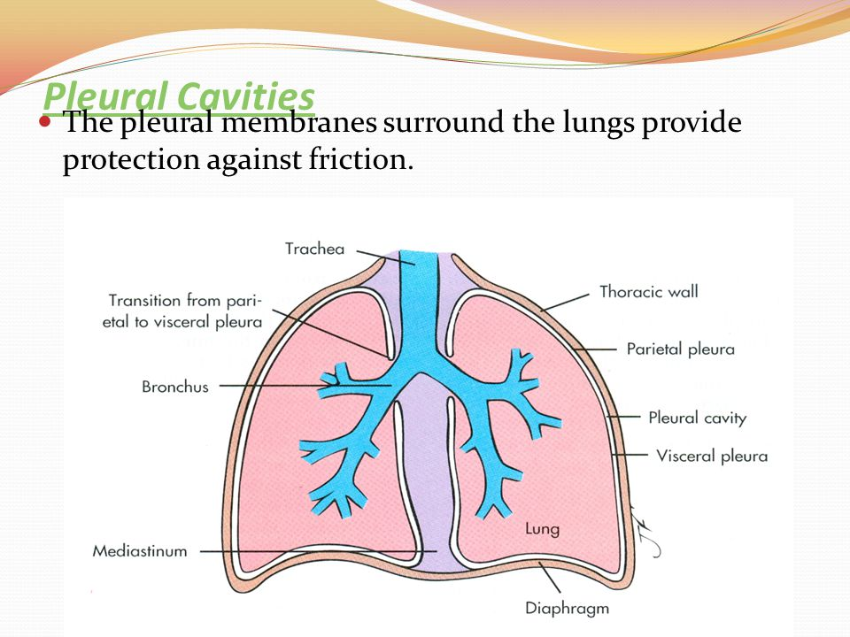 Pleural Cavities The pleural membranes surround the lungs provide protection against friction.