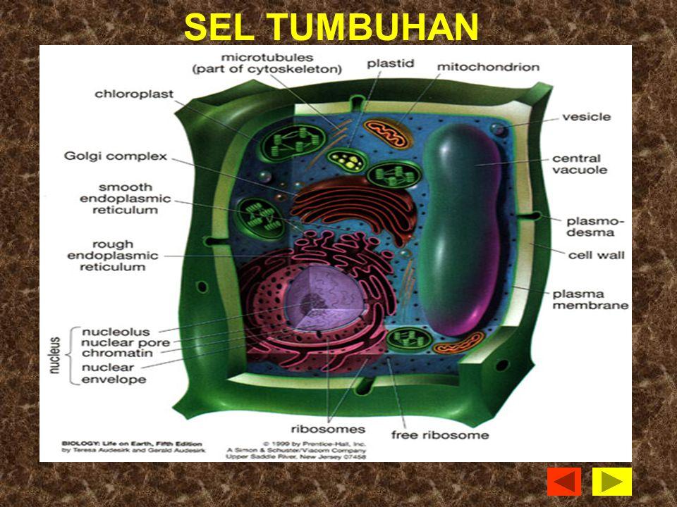 Cell membrane melindungi cell dan mengontrol transport zat Cytoplasm adalah subsatansi gel dalam cel tempat keberadaan organella-organella Lysosomes mencerna makanan untuk kebutuhan cell.