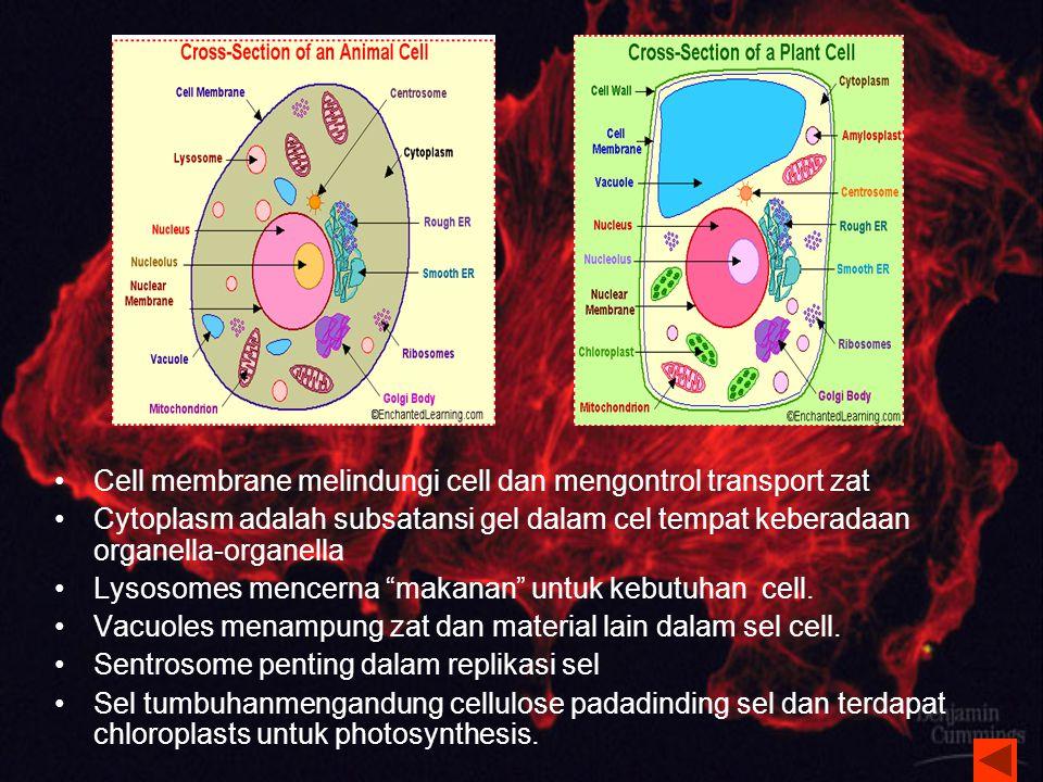 Mitochondria Tempat Respirasi Sel untuk menghasilkan energi.