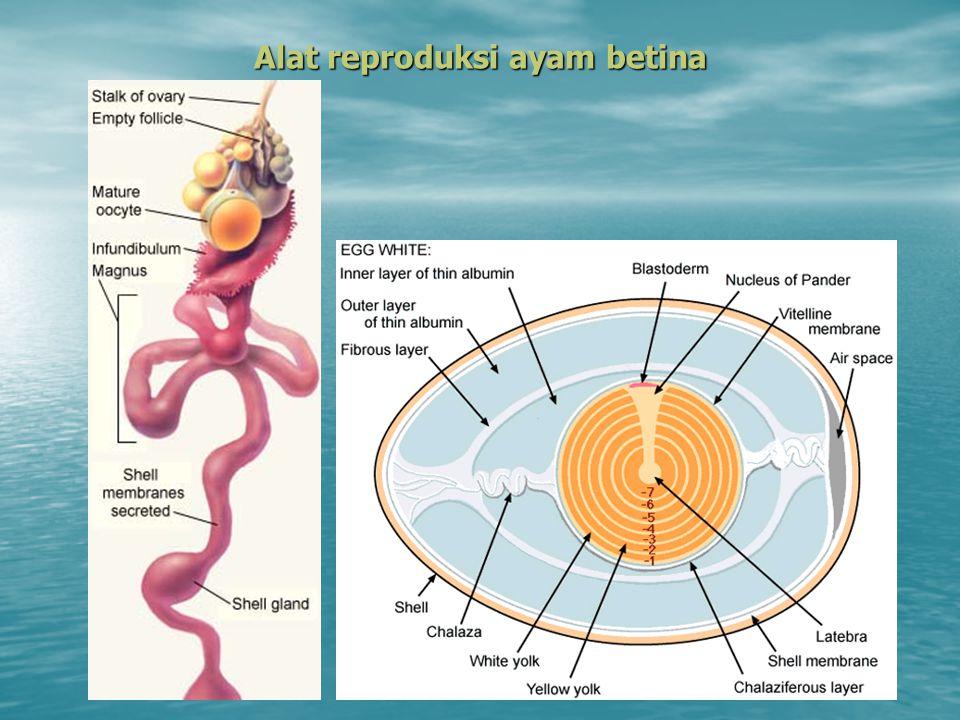 Spermatozoa : Dideposisi pada ujung caudal vagina Dideposisi pada ujung caudal vagina Perjalanan ke infundibulum : 1 jam Perjalanan ke infundibulum : 1 jam Transport sperma : Daya gerak sperma & pergerakan berlawanan dengan aliran air (rheotaxis).