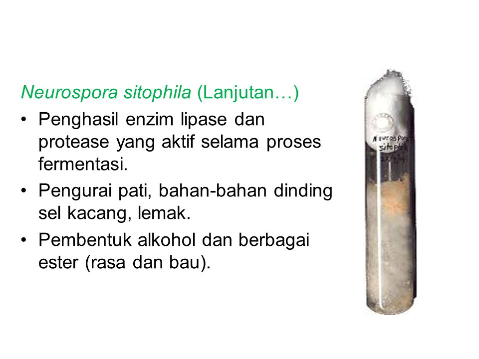 Neurospora sitophila (Lanjutan…) Penghasil enzim lipase dan protease yang aktif selama proses fermentasi.