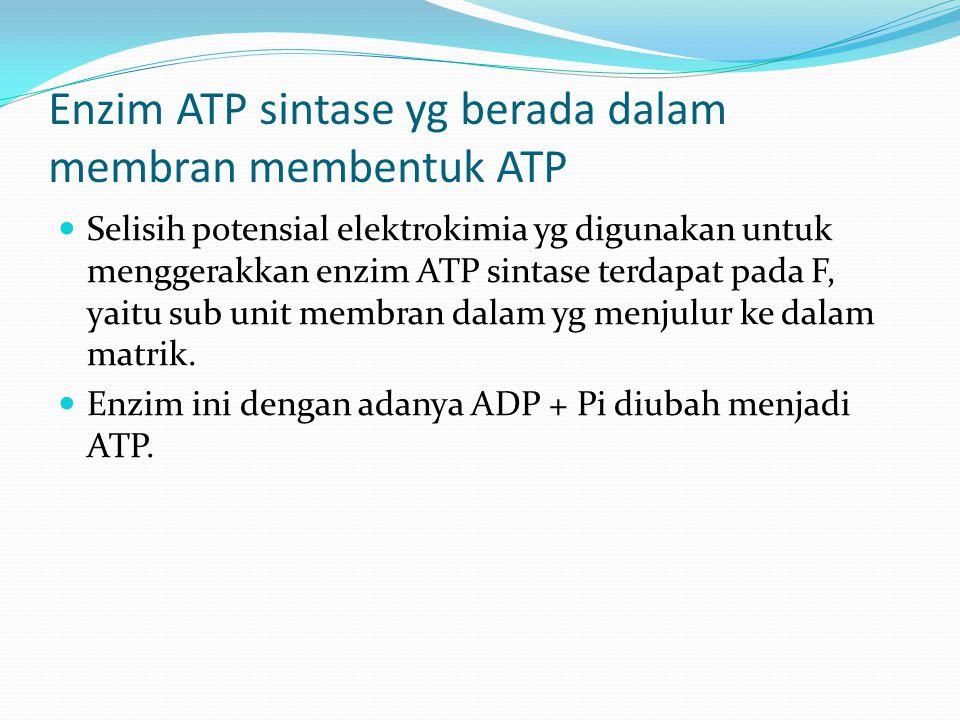 Enzim ATP sintase yg berada dalam membran membentuk ATP Selisih potensial elektrokimia yg digunakan untuk menggerakkan enzim ATP sintase terdapat pada