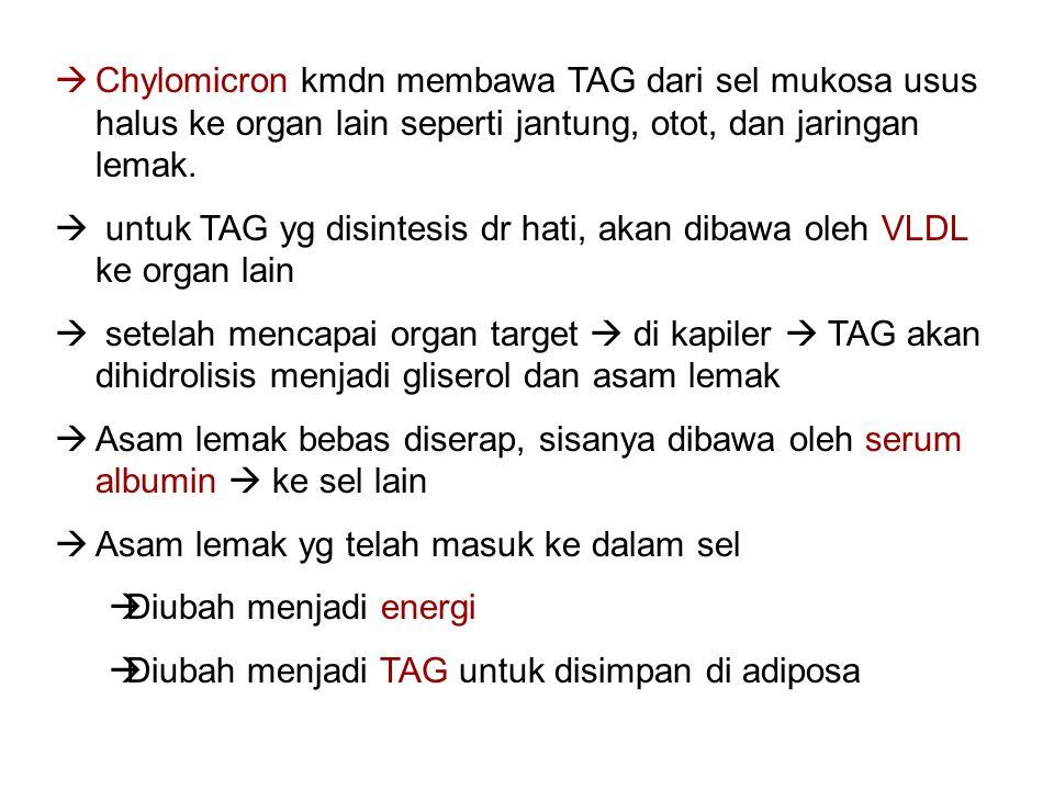  Chylomicron kmdn membawa TAG dari sel mukosa usus halus ke organ lain seperti jantung, otot, dan jaringan lemak.  untuk TAG yg disintesis dr hati,