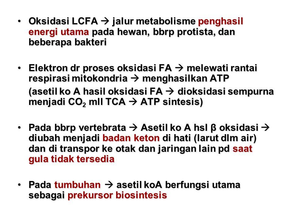Oksidasi LCFA  jalur metabolisme penghasil energi utama pada hewan, bbrp protista, dan beberapa bakteriOksidasi LCFA  jalur metabolisme penghasil energi utama pada hewan, bbrp protista, dan beberapa bakteri Elektron dr proses oksidasi FA  melewati rantai respirasi mitokondria  menghasilkan ATPElektron dr proses oksidasi FA  melewati rantai respirasi mitokondria  menghasilkan ATP (asetil ko A hasil oksidasi FA  dioksidasi sempurna menjadi CO 2 mll TCA  ATP sintesis) Pada bbrp vertebrata  Asetil ko A hsl β oksidasi  diubah menjadi badan keton di hati (larut dlm air) dan di transpor ke otak dan jaringan lain pd saat gula tidak tersediaPada bbrp vertebrata  Asetil ko A hsl β oksidasi  diubah menjadi badan keton di hati (larut dlm air) dan di transpor ke otak dan jaringan lain pd saat gula tidak tersedia Pada tumbuhan  asetil koA berfungsi utama sebagai prekursor biosintesisPada tumbuhan  asetil koA berfungsi utama sebagai prekursor biosintesis