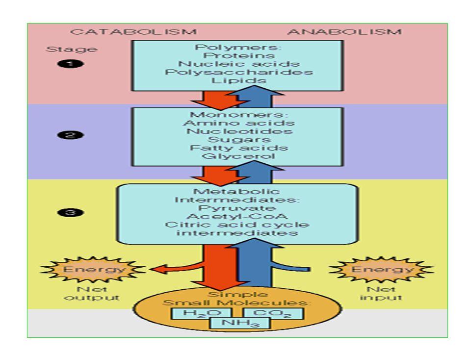 Mekanisme kerja enzim Ada dua teori yang menjelaskan mengenai cara kerja enzim yaitu: Teori kunci dan gembok Teori ini diusulkan oleh Emil Fischer pada 1894.