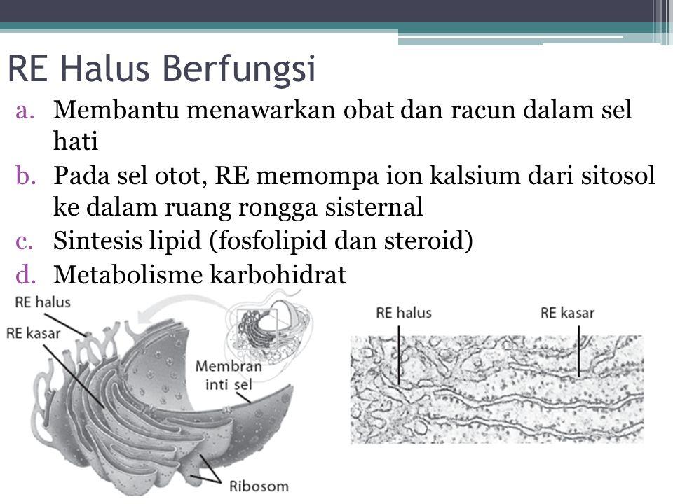 RE Halus Berfungsi a.Membantu menawarkan obat dan racun dalam sel hati b.Pada sel otot, RE memompa ion kalsium dari sitosol ke dalam ruang rongga sist